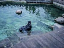 Scellez le poisson-chat de fourrure dans l'eau de natation de piscine Photo libre de droits