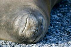 Scellez le sommeil sur la plage, projectile principal Image stock
