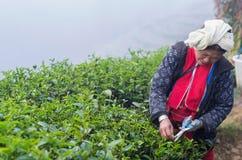Scelta dell'agricoltore in foglie di tè Fotografia Stock