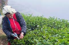 Scelta non identificata dell'agricoltore in foglie di tè Fotografia Stock