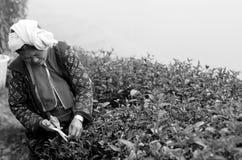 Scelta non identificata dell'agricoltore in foglie di tè Fotografia Stock Libera da Diritti