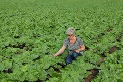 Scena agricola, agricoltore che ispeziona il giacimento del girasole facendo uso della linguetta Fotografie Stock