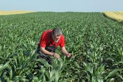 Scena agricola, agricoltore nel campo di grano Immagine Stock Libera da Diritti
