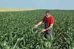 Scena agricola, agricoltore nel campo di grano Immagine Stock