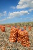 Scena agricola, borse della cipolla nel campo dopo il raccolto Fotografia Stock