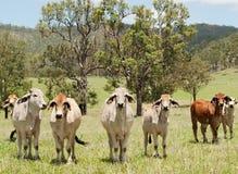 Scena australiana dell'azienda agricola della campagna con le mucche Fotografia Stock