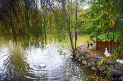 Scena autunnale con giallo, anatre sotto l'albero di salice Fotografie Stock