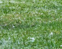 Scena con erba verde naturale coperta di lanugine del pioppo in primavera immagini stock libere da diritti