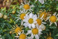 Scena con le margherite bianche in piena fioritura ad alba ed a gocce di acqua fotografia stock