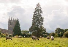 Scena cristiana inglese del campo di estate delle pecore che pascono chiesa dentro Immagini Stock