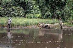 Scena d'agricoltura pittoresca della risaia in Tailandia Immagini Stock Libere da Diritti