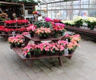 Scena d'invito con le tavole coperte nelle piante conservate in vaso della stella di Natale, giardini di SunnySide, Saratoga New  fotografia stock