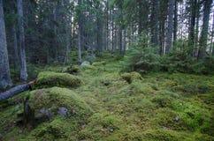 Scena da una vecchia foresta di conifere non trattata Fotografia Stock
