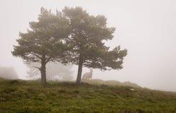 Scena degli alberi di pini in nebbia, con un cavallo immagine stock