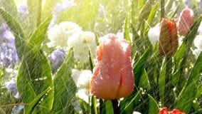 Scena del parco della primavera con pioggia sopra i bei tulipani immagini stock