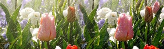 Scena del parco della primavera con pioggia sopra i bei tulipani immagine stock
