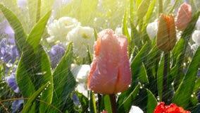 Scena del parco della primavera con pioggia sopra i bei tulipani fotografia stock libera da diritti