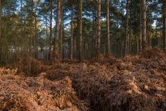 Scena del terreno boscoso con le felci dorate Immagine Stock