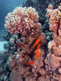 Scena della barriera corallina con i pesci Fotografia Stock Libera da Diritti