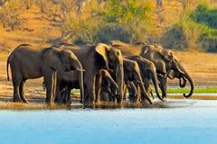 Scena della fauna selvatica dalla natura Un gregge degli elefanti africani che bevono ad un waterhole che solleva i loro tronchi, fotografia stock