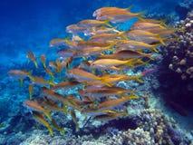 Scena della scogliera con lo sciame dei pesci Fotografia Stock