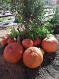 Scena di autunno con le zucche in giardino Fotografie Stock Libere da Diritti