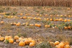 Scena di autunno del giacimento delle zucche Fotografia Stock