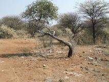 Scena di Bush dell'Africano Fotografia Stock
