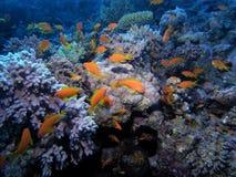 Scena di corallo Fotografie Stock Libere da Diritti