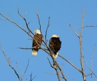 Scena di Eagles della primavera Immagini Stock