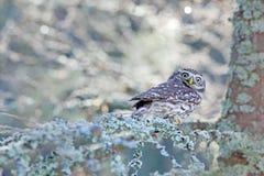 Scena di inverno con la civetta, noctua delle atene, nella foresta bianca del larice in Europa centrale Ritratto di piccolo uccel immagini stock
