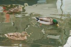 Scena di inverno delle anatre sull'acqua della baia di Chesapeake Fotografia Stock Libera da Diritti
