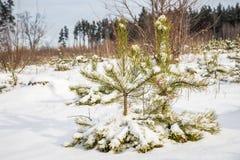 Scena di inverno di piccoli pini Immagine Stock