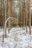 Scena di inverno di Pinewood Immagini Stock
