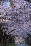 Scena di mattina della galleria dei fiori di ciliegia in un parco a Tokyo nelle prime ore del mattino immagini stock