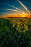 Scena di tramonto sopra un giacimento del canola e un giacimento di grano verde in fotografia stock libera da diritti