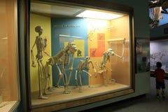 Scena interessante in scheletri, osso Corridoio, museo nazionale di storia naturale, Washington, DC, 2017 di Osteology Fotografie Stock Libere da Diritti