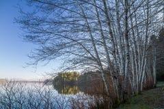 Scena invernale che guarda attraverso gli alberi del pioppo per calmare la baia di Grice Fotografie Stock