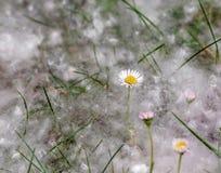 Scena naturale con i fiori del campo coperti di lanugine del pioppo in primavera immagini stock libere da diritti