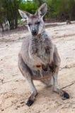 Scena orientale australiana della fauna selvatica di Grey Kangaroo Fotografia Stock Libera da Diritti