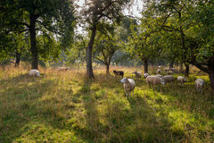 Scena pittoresca con le pecore sotto gli alberi alti Fotografie Stock Libere da Diritti