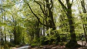 Scena rurale della primavera degli alberi di faggio nella campagna di Devon South West England Immagini Stock Libere da Diritti