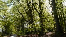 Scena rurale della primavera degli alberi di faggio nella campagna di Devon South West England Fotografia Stock