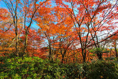 Scena sbalorditiva dalla foresta giapponese Immagine Stock
