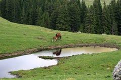 Scena serena della montagna con gli animali da allevamento Fotografia Stock