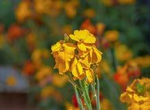 Scena z kolorem żółtym kwitnie erysimum wallflower w kwiacie zdjęcia stock