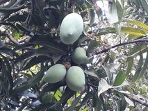 Scena z mango i mango opuszcza below Obraz Stock
