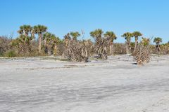 Scene Along Florida`s First Coast. Palm trees along the beach at Little Talbot Island State Park near Jacksonville, Florida royalty free stock photo
