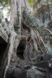 Ta Prohm a 12th century temple entrance encased in Spung tree roots. Scene around the Angkor Archaeological Park. The site contains the remains of the different Royalty Free Stock Image