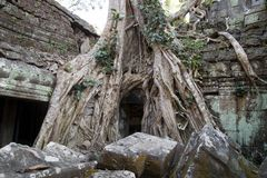 Ta Prohm a 12th century temple in the Banyon style encased in tree roots. Scene around the Angkor Archaeological Park. The site contains the remains of the Stock Image